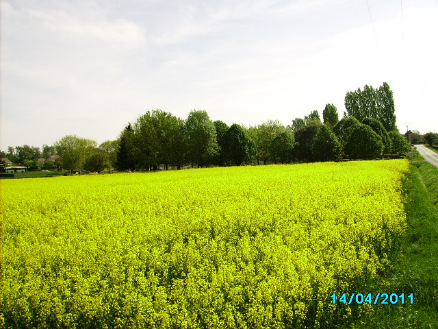 saisons/printemps-colza.JPG